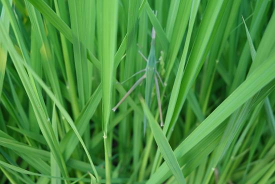 バッタが止まっているコシヒカリの稲