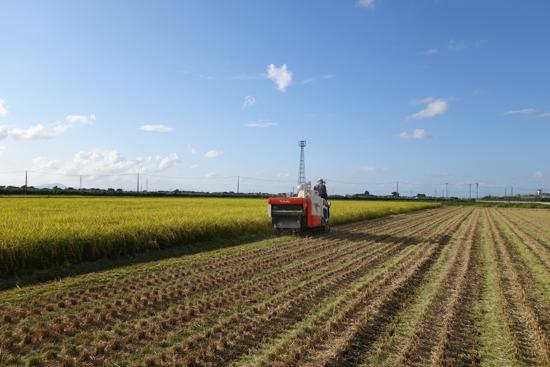 26年度のコシヒカリの稲刈りスタート