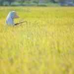14年の新潟県産米の作況指数
